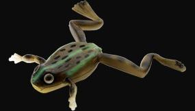#S-343 Real TONOSAMA Frog